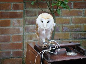 Picture of a barn owl